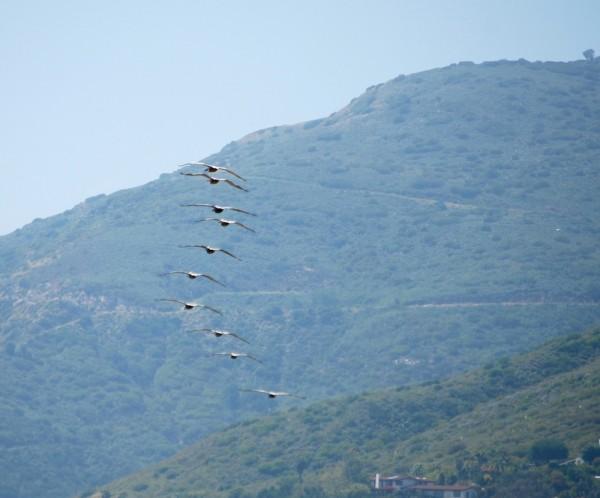 Pelicans flying in formation over Zuma Beach in Malibu